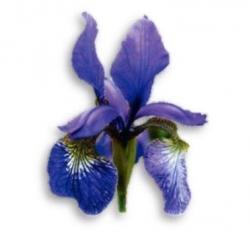 Iris sibirica, aus dem Frauenwinkel